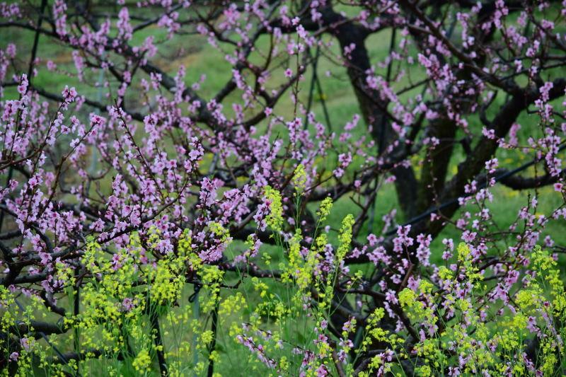 DSC_0912_00006菜の花と桃