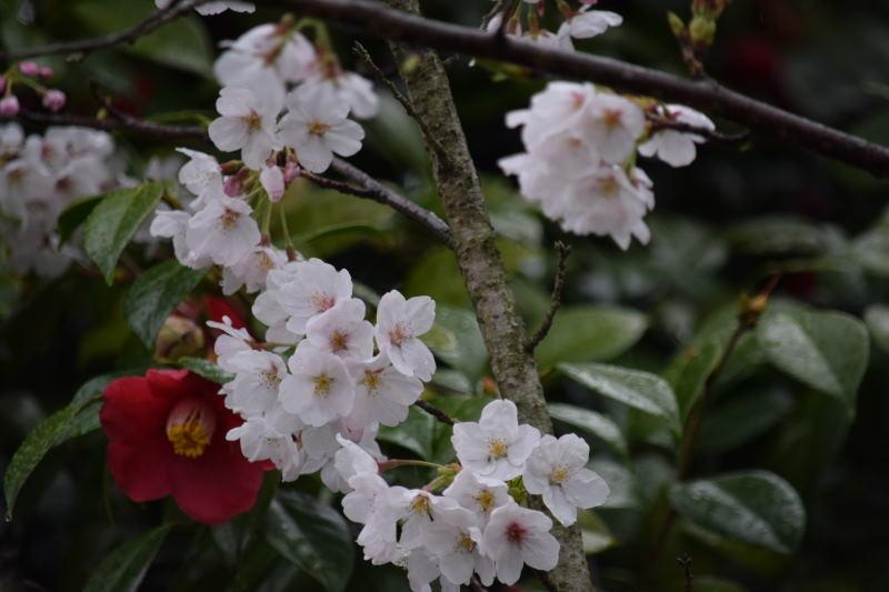 DSC_0886_00005桜と椿