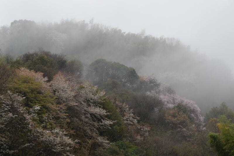 DSC_0953_00008山の桜