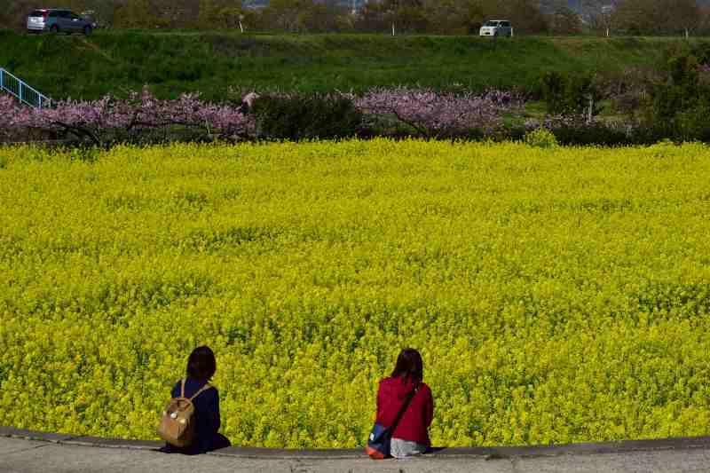 DSC_1565_00005菜の花