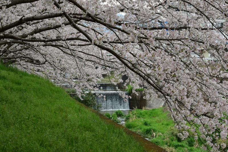 川と桜DSC_1394
