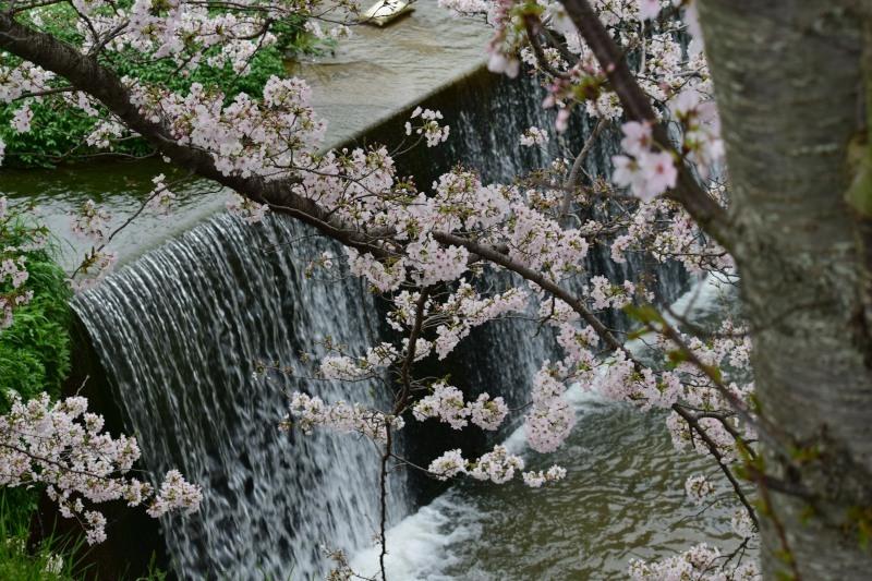 川と桜DSC_1390