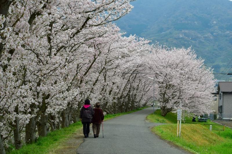 桜のトンネル散歩DSC_1455