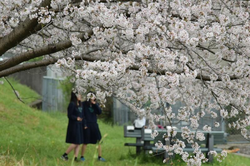 桜のトンネル高校生DSC_1451
