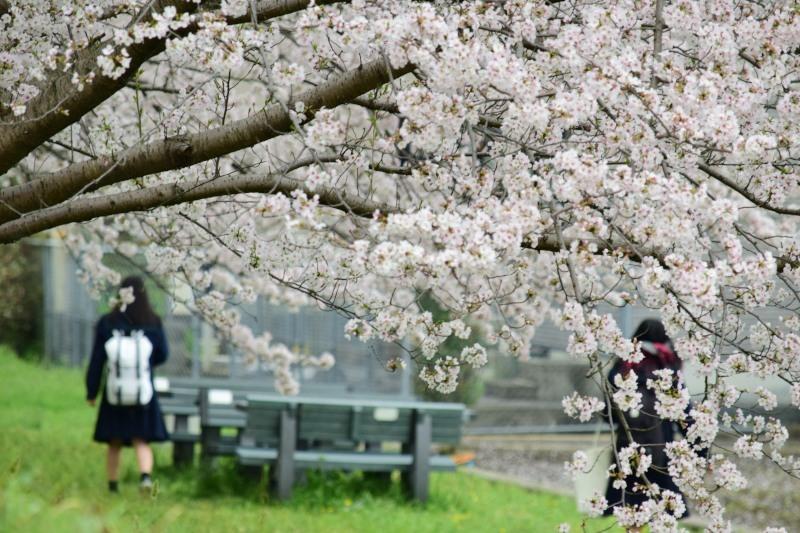 桜のトンネル高校生DSC_1418