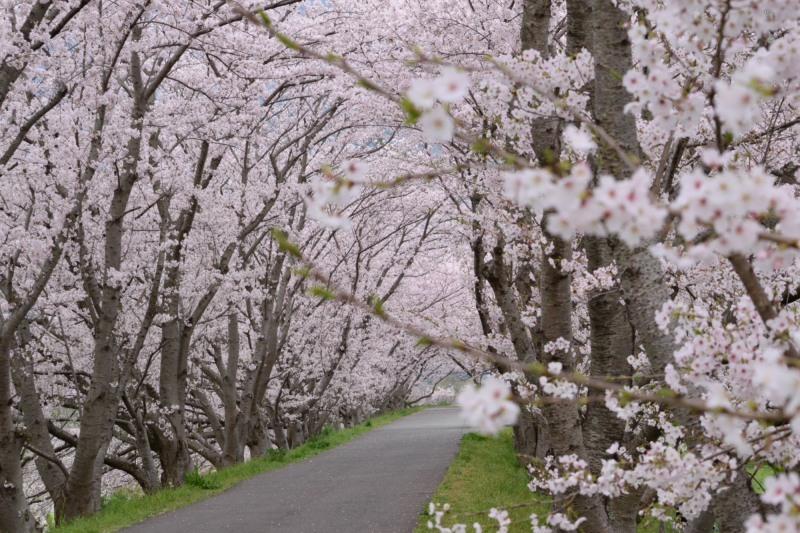 桜のトンネルDSC_1444