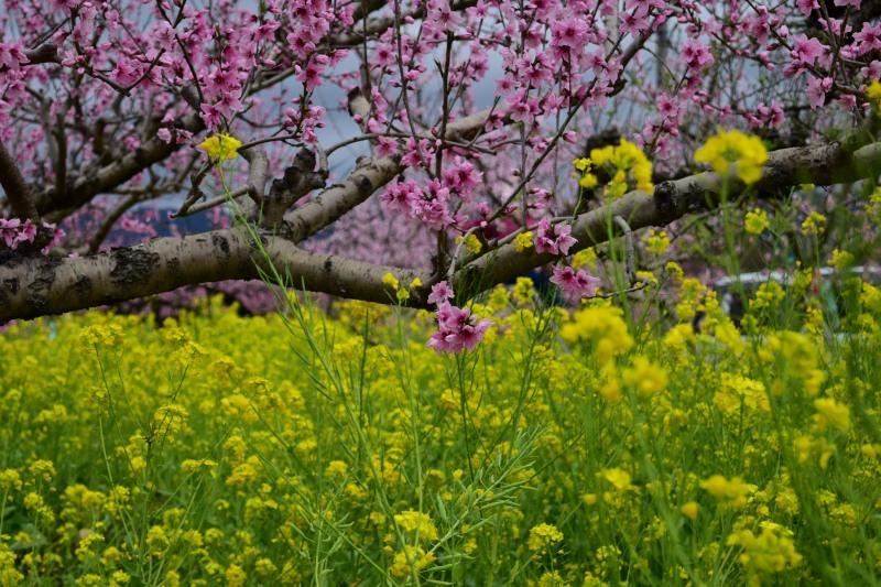 桃と菜の花DSC_0806