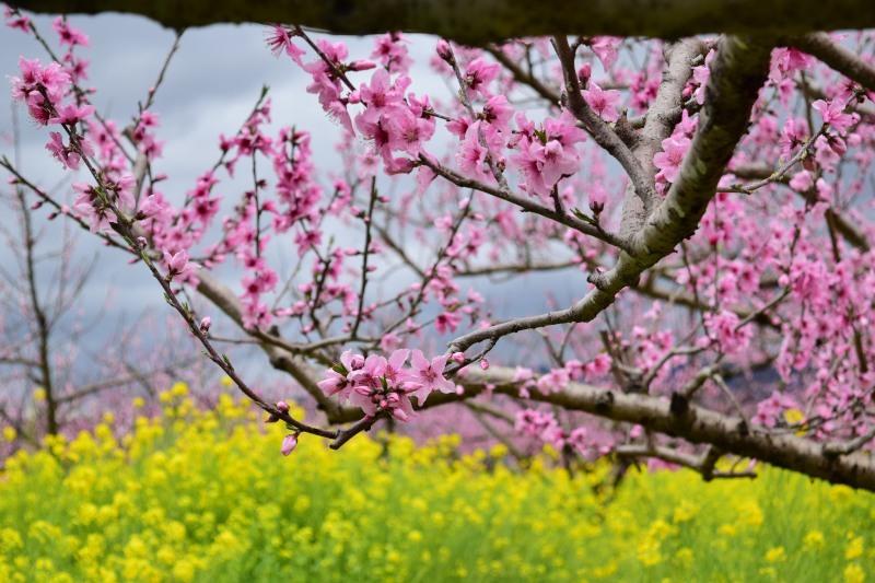桃と菜の花DSC_0787