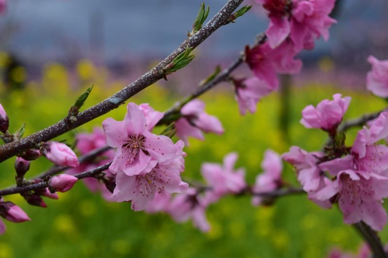桃と菜の花DSC_0795