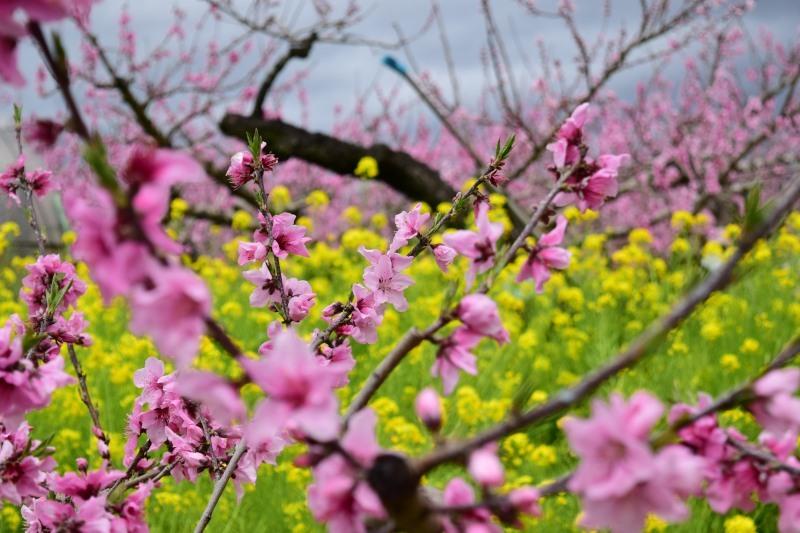 桃と菜の花DSC_0788