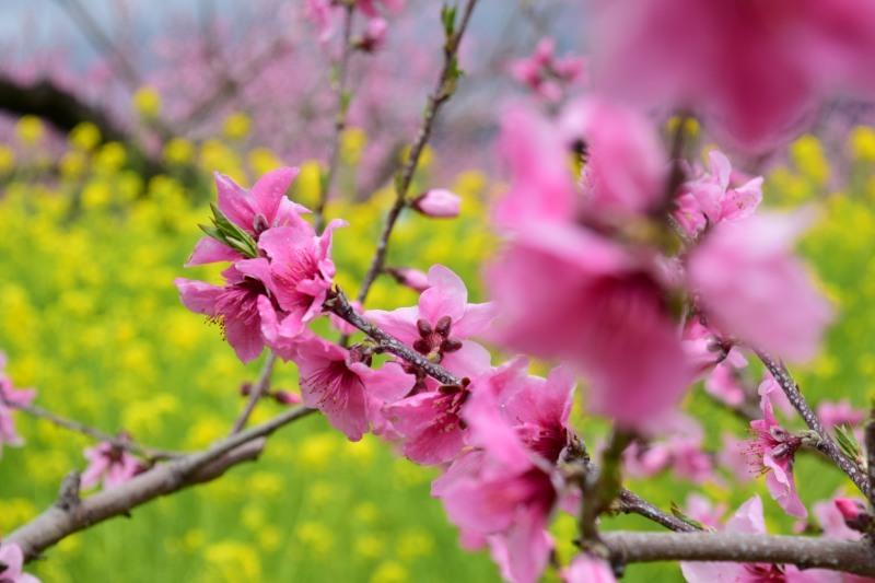 桃と菜の花DSC_0791