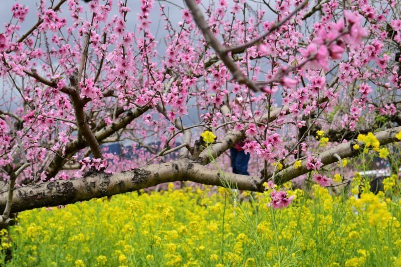 桃と菜の花DSC_0782