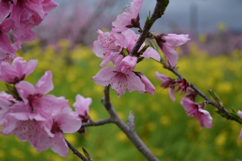 桃と菜の花DSC_0799