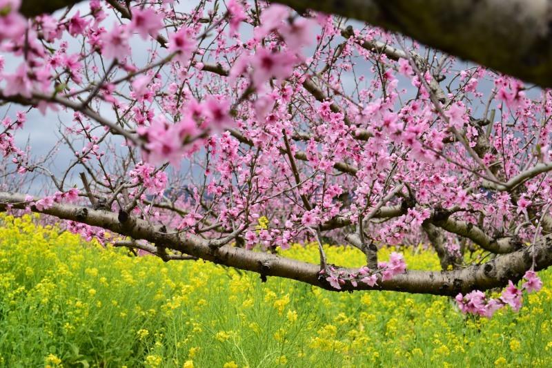 桃と菜の花DSC_0785