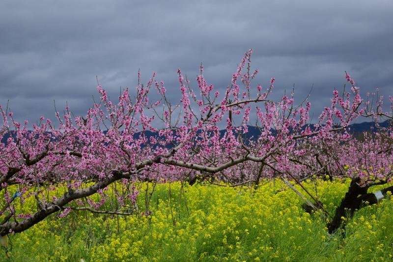 桃と菜の花DSC_0776