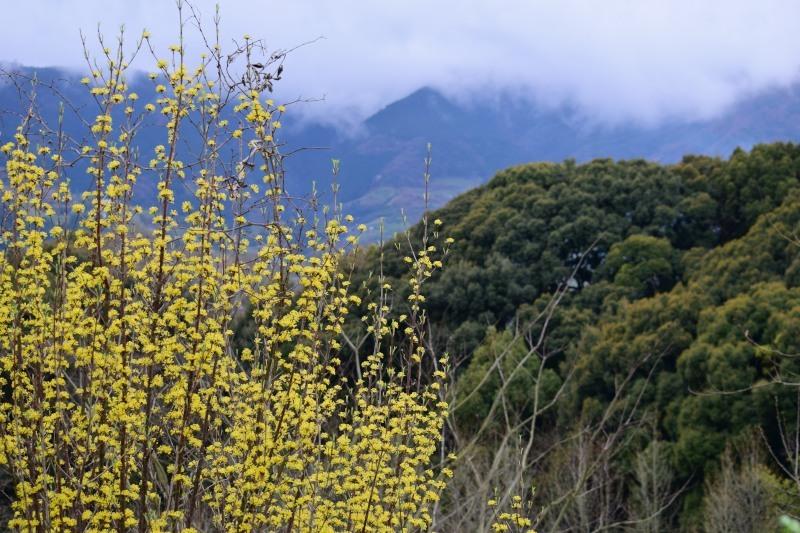 サンシュユと山DSC_0762