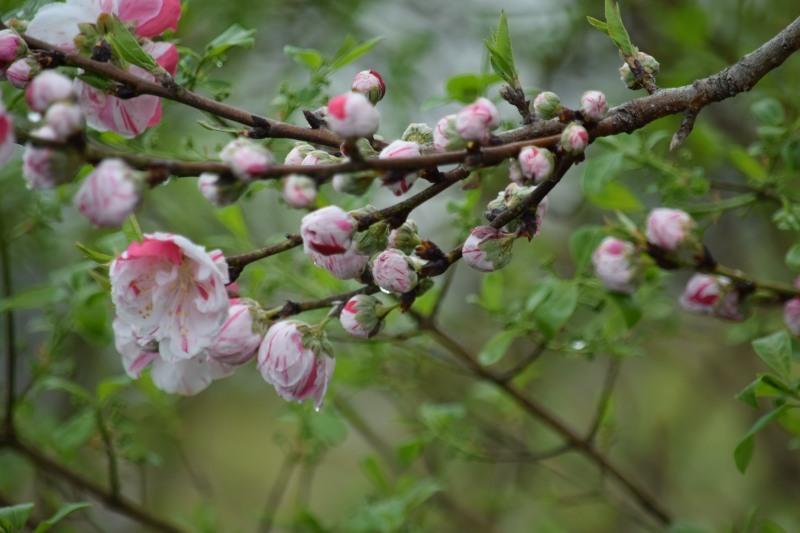 花桜DSC_0768