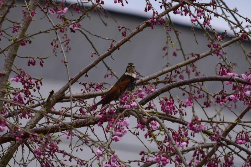 桜とツグミDSC_0756