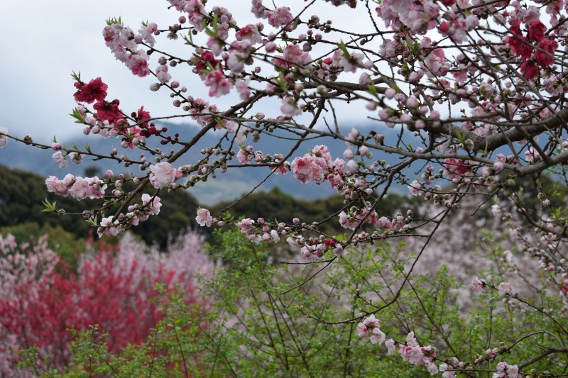 桜と山DSC_0770