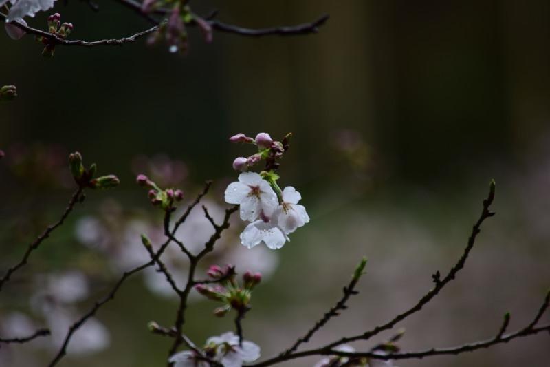 桜DSC_0751