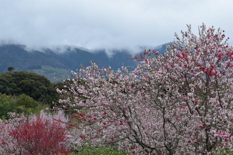 霧山と桜DSC_0716