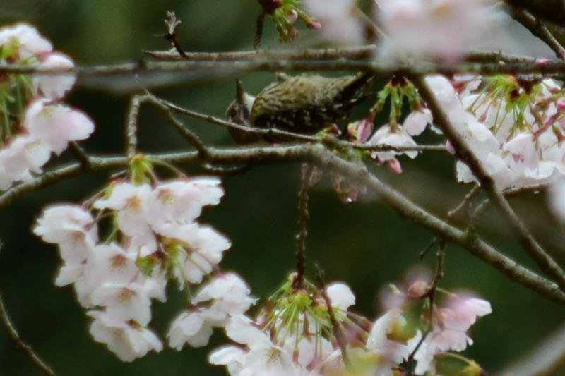 コゲラと桜DSC_0726