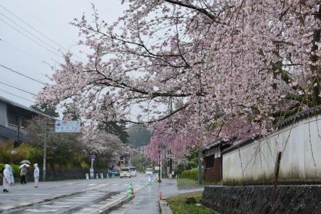 桜DSC_0989