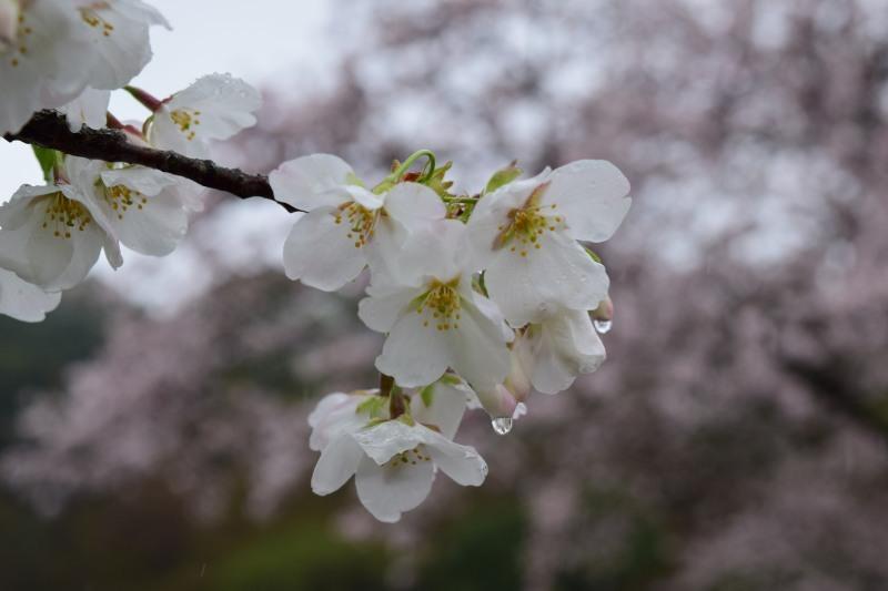 桜DSC_0990