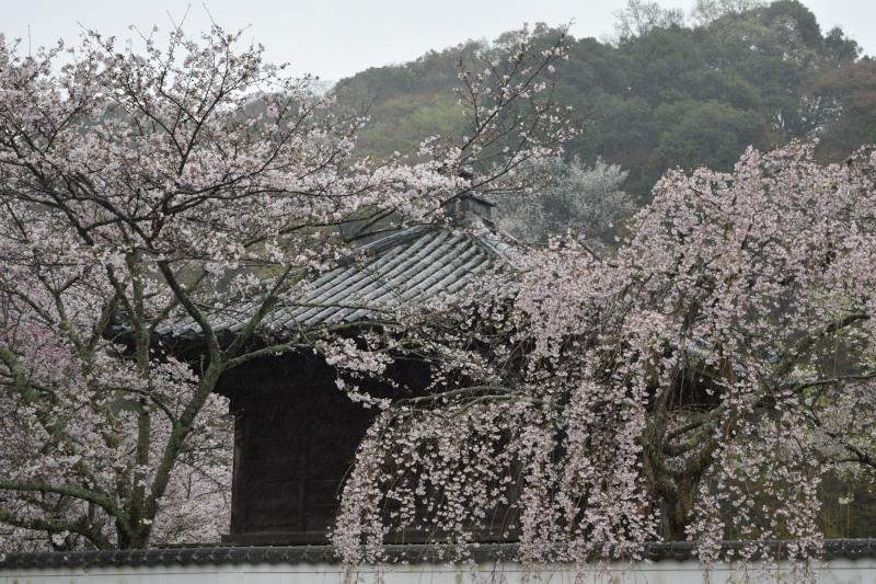 桜DSC_0981