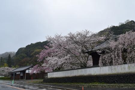 桜DSC_0988
