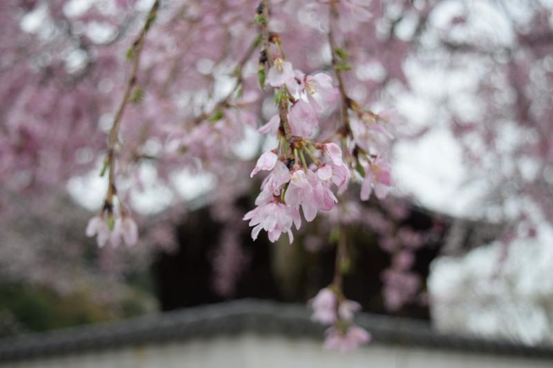 桜DSC_1001