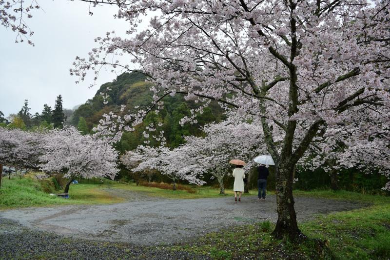 桜DSC_0995