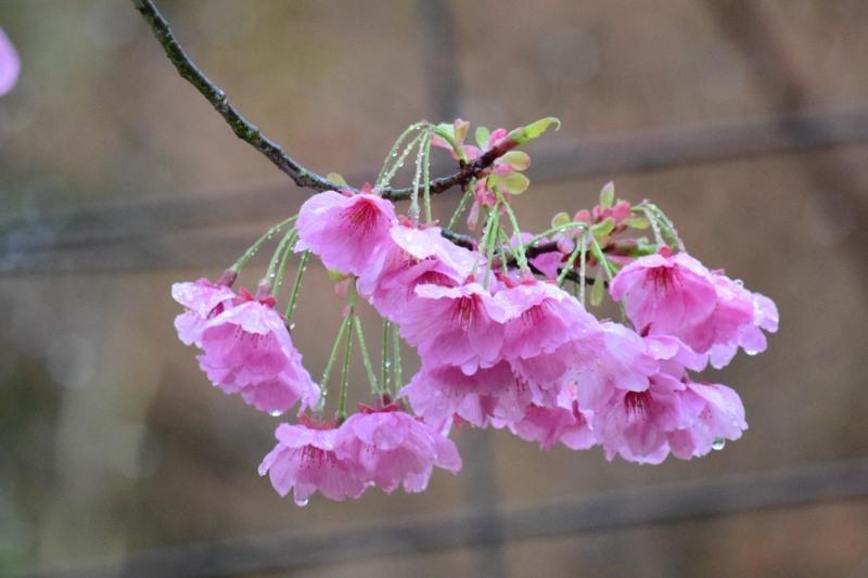 桜DSC_1012
