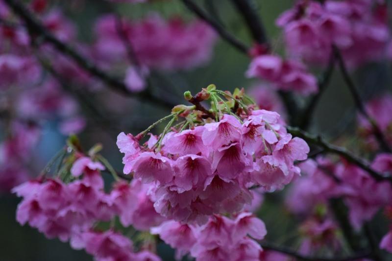 桜DSC_1011