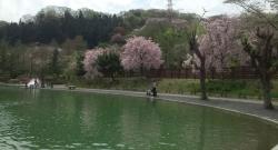 枝垂れ桜(?)満開