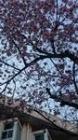 早咲き桜?