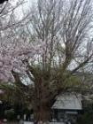 遊行寺桜1