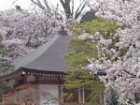 遊行寺桜2