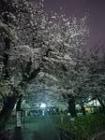 洗足池夜桜6