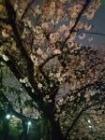 洗足池夜桜3