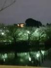 洗足池夜桜5