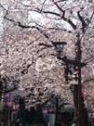 西小山桜まつり