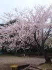 伊勢山公園桜