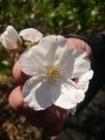 ミカドヨシノ花びら