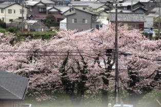 4/10桜