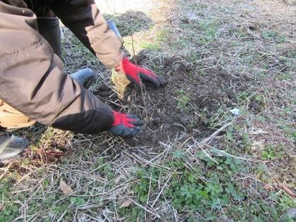 クヌギの苗木に土を埋め戻しています。(クワガタ工房 虫吉)