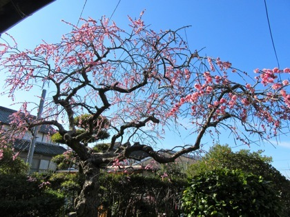 庭の梅の花です【クワガタ工房 虫吉】