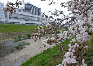 sakura-river