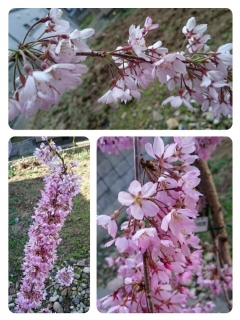 H29枝垂れ桜