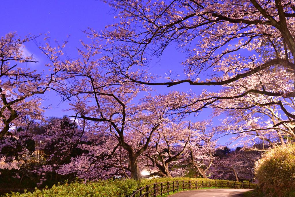 D500 三ッ池公園桜 023